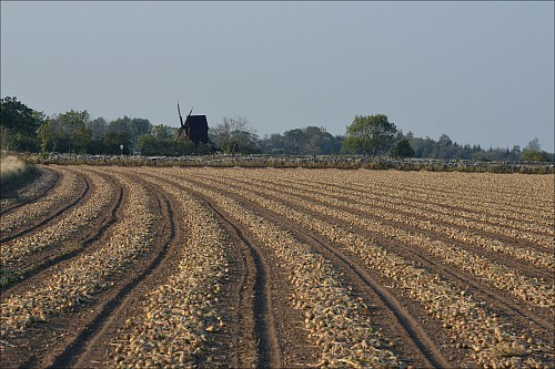 Smedby Öland Long rows of harvested onions. Culinary Heritage, Handcrafts Barbro Julstad